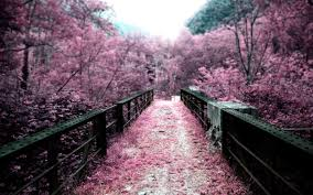 pink cherry blossom tree #pink #bridge ...