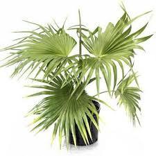 fan palm. china fan palm