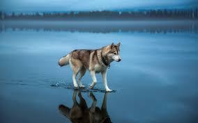 狼の水上散歩の動物壁紙