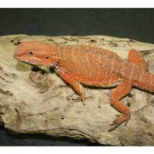 central bearded dragons and baby bearded dragons for amazing
