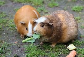 housing do guinea pigs need