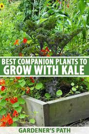companion plants to grow with kale
