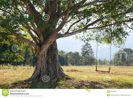 Tree Swing Tree With Swing Royalty Free Stock Photography Image 6546017