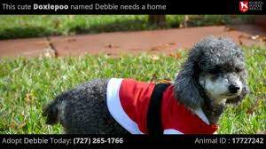 adopt a poodle or rescue a poodle with the florida poodle rescue