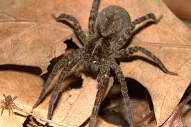 Are all wold spiders hairy