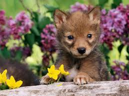 1920x1440 images for cute baby wolf wallpaper