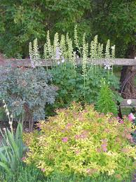Small Picture goldmound spirea Google Search Garden Pinterest Shrub