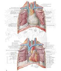 A Pericardial Sac Surrounds The Heart And Is Innervated By The