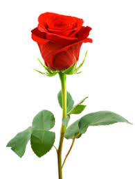 Image result for image of rose hd