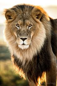 553 best King of the jungle images on Pinterest