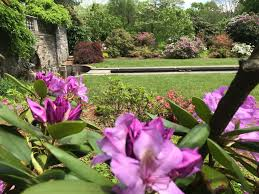 new jersey botanical garden in ringwood shows off its colorful azalea rhododendron blooms