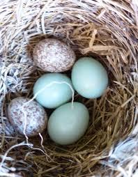 brown headed cowbird eggs in eastern bluebird nest