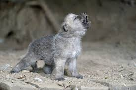cute baby wolf in the wild. Amazing Howling Wild Wolf Pups That Will Fill You With Awe Video Throughout Cute Baby In The