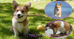 Ultimate Guide To Caring For My Welsh Corgi Trudog