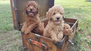 Mini Goldendoodle Full Size Goldenacresdogs Com