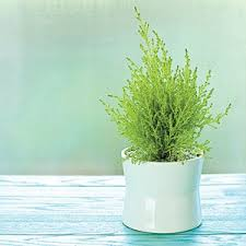Plants For Christmas Gifts  Christmas Gift IdeasChristmas Gift Plants