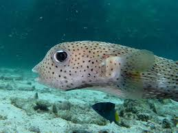 why does my pufferfish change colors