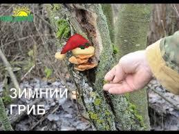 зимние грибы от импотенции