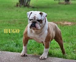 need an olde english bulldogge in florida