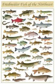Freshwater Fish Chart Freshwater Fish Of The Northeast Freshwater Fish Fish