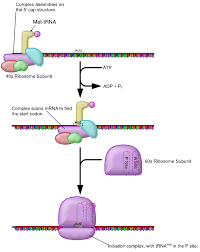 Protein Synthesis Flow Chart Key Translation Of Dna Initiation Elongation Termination
