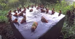 30 hummingbirds gather in bird bath for a mini pool party ritual
