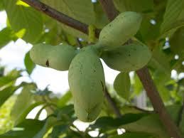 Honeycrisp Apple Malus U0027Honeycrispu0027 In Greensboro High Point Fruit Tree Nursery North Carolina