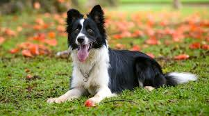 do border collies shed yes but here s