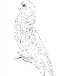 モモイロインコ イラスト 絵 イラスト練習中 動物イラスト 鳥 鳥