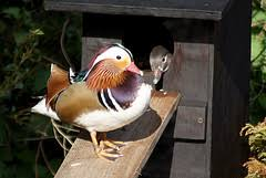 Where Can I Find Free Plans For A Mallard Duck House Nest    Blurtit Answers