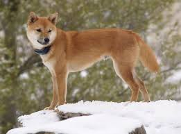 Shiba Inu Growth Chart Shiba Inu Dog Breed Information And Pictures