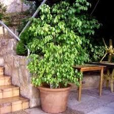 50 ficus benjamina seeds weeping fig evergreen indoor plant seeds in south africa
