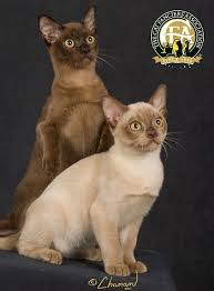 Burmese Kitten Weight Chart Breed Profile The Burmese