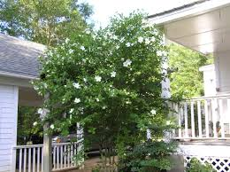 white august beauty gardenia garden designs