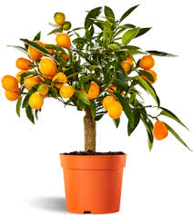 Image result for pic of kumquat fruit