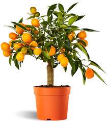 Image result for pic of kumquat fruit