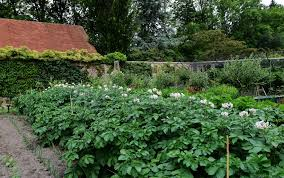 The Kitchen Garden Filepashley Manor Garden Potatoes Doing Well In The Kitchen