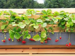 Kitchen Garden Trough Creative Strawberry Planters Hgtv