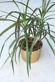 office plants for sale. Wonderful Plants The How To Care For Indoor Plants Grass Sale  On Office Plants For Sale