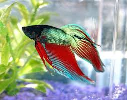 Betta Fish Care Guide Facts And Behaviors Pethelpful