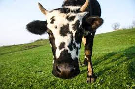 dairy cow face. Brilliant Cow Cow Face Closeup On Meadow Stock Photo  100538960 And Dairy Cow Face