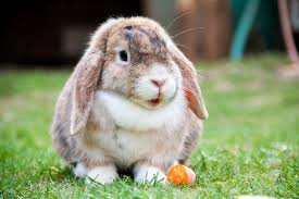 Mini Lop Vs Holland Lop Which Breed Is The Right For You