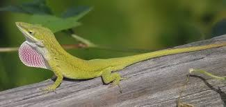 How To Safely Catch And Hold A Wild Lizard Pethelpful