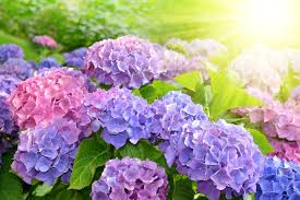 Purple Flower Quotes Hydrangea Flower Meaning Flower Meaning