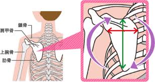 「肩甲骨が背中」の画像検索結果