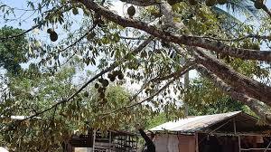 Hasil gambar untuk pohon durian