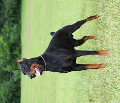 Image result for PICTURES OF MALE DOBERMAN GUARD DOGS