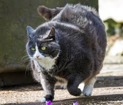 Overweight Cat Chart Cat Obesity Learn About Identification Treatment And