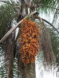 Best 25 Palm Tree Fruit Ideas On Pinterest  Pineapple Tree Palm Tree Orange Fruit