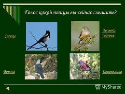 Презентация на тему Определение местных птиц по пению класс  5 Голос какой птицы вы сейчас слышите Сорока Коноплянка Овсянка садовая Ворона